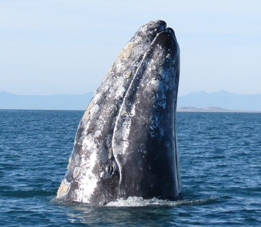 Gray Whale's nose high Up out of the ocean