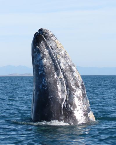 Gray Whale straight nose up out of water