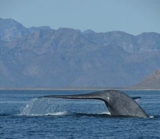 Blue Whale tail out of water